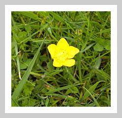 Butterblume im Gras