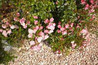 Beetrosen in voller Blüten